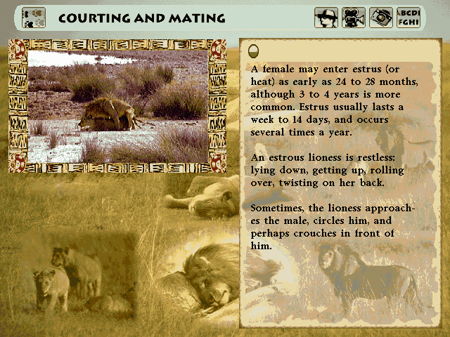 "Lion DOS Lion safari topic - ""Courting and Mating"""