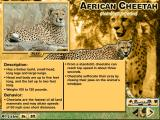 Animals of Africa Windows The description of the cheetah and a summary of behavior